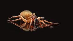 Spider (Henryk D) Tags: spider spinne makro insekten natur