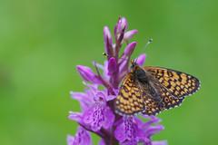 Déesse à ceinturons, Mélitée du Plantain (-Dop-) Tags: nymphalidae orchidaceae lanaye liège belgique melitaeacinxia