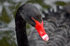 Black swan (Cygnus atratus)  -  (Selected by GETTY IMAGES) (DESPITE STRAIGHT LINES) Tags: nature mothernature naturalbeauty beauty kent landscape nikon24120mmf4 nikon24120mmf4gedvr england sunlight nikon d850 nikond850 nikkor24120mm nikon24120mm nikongp1 paulwilliams despitestraightlines flickr gettyimages morning getty gettyimagesesp despitestraightlinesatgettyimages park parkland centrallondon city capital londontown londonscenes stjamesspark stjamessparklondon royallondonparks royal anseriformes anatidae anserini bird birds aves blackswan swan blackswancygnusatratus cygnusatratus