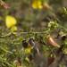 Crotalaria paniculata (2)