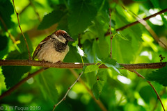 House Sparrow (jwfuqua-photography) Tags: housesparrow birds sparrow jwfuquaphotography pennsylvania buckscounty jerrywfuqua