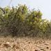 Crotalaria paniculata (7)
