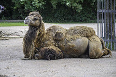 Zoo Krefeld (Christian Hoemke) Tags: animal animals canon canoneos1000d deutschland germany krefeld nrw nordrheinwestfalen northrhinewestphalia sigma sigmadc55200mm1456 zoo camel zookrefeld