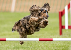 """That's my Pup"" xx (cjpk1) Tags: dog agility cocker spaniel sport field outdoor speed skill"