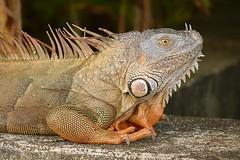 Green Iguana (Iguana iguana) (Pete Rodgers) Tags: reptile reptiles iguana greeniguana costarica lizard lizards