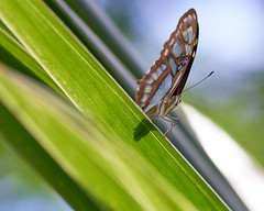 Melachietvlinder (d50harry123) Tags: natuur waterdruppel waterdruppels macro melachietvlinder vlinder burgerszoo zoo dierentuin mangrove nikonnl d750 tokina100mmmacro tokina naturewatcher
