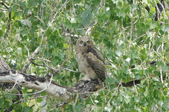 Juvenile Great Horned Owl at Metzger Farm Open Space, Colorado (nature80020) Tags: owl greathornedowl juvenile feathers eartufts bird nature wildlife metzgerfarmopenspace colorado
