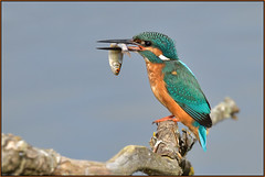 Kingfisher (image 1 of 4) (Full Moon Images) Tags: lackford lakes wildlife nature reserve bird fish kingfisher