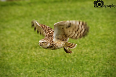 Burrowing Owl Flying 2 (Mike House Photography) Tags: bird prey centre park outdoor conservation flying display displaying launch soar glide flapping wings brown green grass trees backdrop talons beak black red perch post burrowing owl south america americas