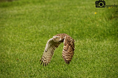 Burrowing Owl Flying 1 (Mike House Photography) Tags: bird prey centre park outdoor conservation flying display displaying launch soar glide flapping wings brown green grass trees backdrop talons beak black red perch post burrowing owl south america americas