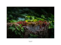 Feuerwanzenkolonie (Schilt Thomas) Tags: baumstamm efeu grün insekten rot walensee wanderung wanzen weesen red green wood leaves insects party
