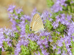 Long Tailed Blue Butterfly (Lampides boeticus) (Nick Dobbs) Tags: insect butterfly long tailed blue lampides boeticus malta ikħal taddenb twil
