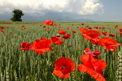 Poppies (tatranka7) Tags: landscape tree sky clouds field poppies atmosphere summer flowers