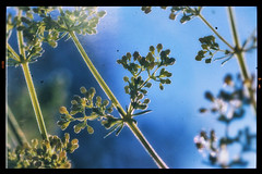 Some random weeds (BigWhitePelican) Tags: finland weeds summer macro canoneos70d adobelightroom6 niktools 2019 june