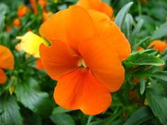 (Vallø) Tags: vallø danmark denmark 2019 outside outdoor nature natur garden have closeup macro blomst blomster flower flowers orange grøn green århusv