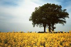 Dans les champs de colza (Philippe_28) Tags: 24x36 argentique analogue camera photography film 135 olympus trip 35 new kodak ektachrome 100 slide transparency diapositive colza chêne rape oak
