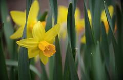 A Daffodil (Violet aka vbd) Tags: pentax k1ii k1markii hdpentaxda55300mmf4563edplmwrre ct connecticut newengland vbd flower daffodil handheld 2019 spring2019 bokeh manualexposure yellow