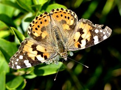 Painted Lady 16.6.19 (ericy202) Tags: painted lady butterfly privet flower holme dunes nwt