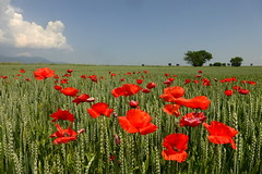 Poppies (tatranka7) Tags: landscape poppies sky clouds field atmosphere summer flowers