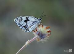 Peluchin rojo (JoseQ.) Tags: macro macrofotografia bicho insecto animal mariposa blanquita pelucho colorines posadero elvillar primavera
