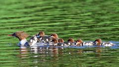 Jääkoskla suurpere (ott.rebane) Tags: bird wildlife commonmerganser mergusmerganser jääkoskel water nature