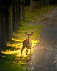 White-tailed deer (andreaudet) Tags: trees dirtroad animals sunrays canadianprovinces nature whitetaileddeer canada hirtlesbeach wildlife deer novascotia ns nouvelleécosse wild fauna wilderness