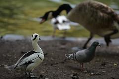 Chaos (PChamaeleoMH) Tags: birds conflict canadageese centrallondon london geese pigeons ducks stjamesspark shelduck smews
