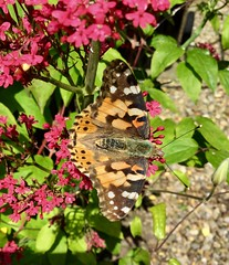 Painted Lady (Martellotower) Tags: painted lady butterfly insect bug