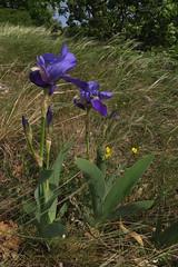 Iris x germanica (aniko e) Tags: iridaceae iris irisxgermanica beardediris schwertlilie deutscheschwertlilie nőszirom kéknőszirom tamáshegy balatonuplandsnationalpark balatonfelvidékinemzetipark balaton balatonfüred hungary blue flower spring hiking hybrid