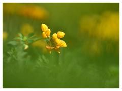 Lotier corniculé - DSC_7898_00003G1F 1280 (isabelle.bienfait) Tags: proxiphoto lotiercorniculé blume flower fleur gelb nature tamron180mmf35 fleursauvage garden jardin yellow jaune