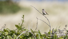 Common Whitethroat (Paul..A) Tags: commonwhitethroat common whitethroat warbler scotland