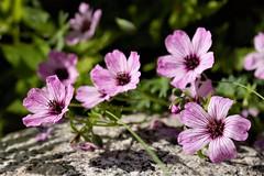 Flowers of June (Tarja J) Tags: garden geranium cranesbill june summertime summerflowers