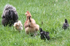 chicken family (@tc_goatwriter) Tags: chickens chicks rooster cock hen faverolles bantam frazzle