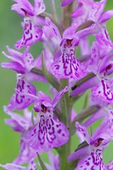 Orchis de Fuchs (-Dop-) Tags: orchidaceae lanaye liège belgique dactylorhizafuchsii
