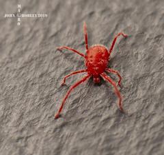 Red Spider mite (John Chorley) Tags: redspidermite macro macros macrophotography closeup closeups johnchorley nature 2019 red