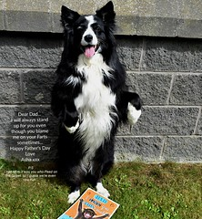 Father's Day Message (ASHA THE BORDER COLLiE) Tags: funny fathersday picture joke card standing border collie dog ashathestarofcountydown connie kells county down photogaphy