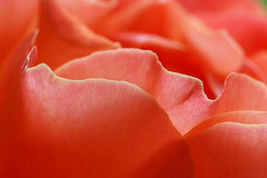 Curves (that Geoff...) Tags: macromondays macro curves petals rose flower flores flora floral closeup rosa orange canon 70d