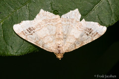 Moth Sp. (Frode Jacobsen) Tags: moth insect bug invertebrate frodejacobsen maryland