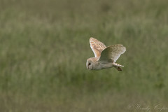 Barn Owl-3447 (WendyCoops224) Tags: 100400mml 80d norfolk canon eos ©wendycooper barn owl