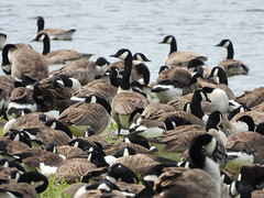 Crowds (Pendlelives) Tags: upper foulridge reservoir bird birds wildlife nature countryside lake water reflections pendle lancashire pendlelives british england britain colne rare canada goose geese crowd crowds gathering