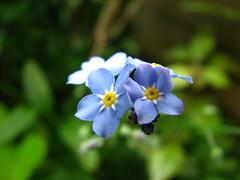 (Vallø) Tags: vallø 2019 danmark denmark outside outdoor nature natur garden have flower blomst macro closeup green grøn århusv flowers blomster blue blå yellow gul