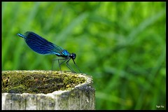 Blauflügler Libelle (tingel79) Tags: libelle blau animal outdoor sunshine tier world spree spreewald nature natur germany day green blueandgreen insekten insects dragonfly