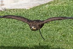 DSC_4711_Aquila in volo 1_Rk (Rocco Comandè 2010) Tags: roccocomandè©photography roccocomandè zoo zoom cumiana animali uccelli rapace aquila ali eagle rapacious animal birds