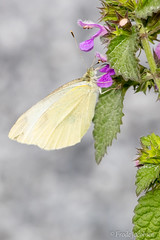 Cabbage White (Pieris rapae) (Frode Jacobsen) Tags: cabbagewhite pierisrapae butterfly lepidoptera insect bug invertebrate frodejacobsen maryland