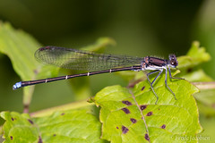 Blue-tipped Dancer (Argia tibialis) (Frode Jacobsen) Tags: bluetippeddancer argiatibialis damselfly zygoptera insect bug invertebrate frodejacobsen maryland