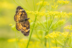 Silvery Checkerspot (Chlosyne nycteis) (Frode Jacobsen) Tags: silverycheckerspot chlosynenycteis butterfly lepidoptera insect bug invertebrate frodejacobsen maryland