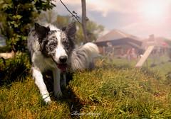 _DSC1985-Modifier (memphys.photo) Tags: dog dogphotography education lightroom photoshop portrait