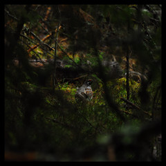 410 (Dans l'ombre du regard) Tags: sweden 2019 wildlife nature lumièrenaturelle noretouch noflash holidays animal birds