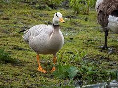 Bar- Headed Goose with Canada Geese (Pendlelives) Tags: upper foulridge reservoir bird birds wildlife nature countryside lake water reflections pendle lancashire pendlelives british england britain colne rare bar headed barheaded goose geese orange legs