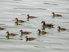 Mandarin clan (Pendlelives) Tags: upper foulridge reservoir bird birds wildlife nature countryside lake water reflections pendle lancashire pendlelives british england britain colne rare mandarin duck female chicks juvenile juveniles swimming